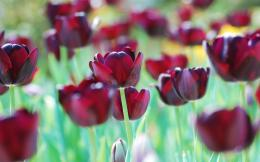 Red tulips wallpaper 1430