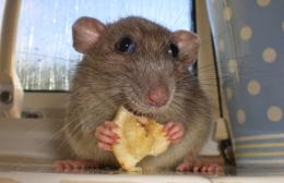Funny Mouse Eating Cheese Animals | Amazing Latest Pictures | Funny 1863