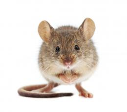 Home Remedies To Get Rid of Mice | Grandma\'s Tips! 743