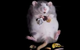 Fat Rat, animal, black, chocolate, fun, rat 1748
