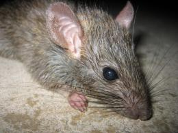 Rat | Endangered Animals Facts, Wildlife Pictures And Videos 483