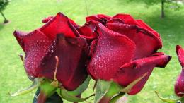 Red roses with dew drops wallpaperFlower wallpapers#47096 902