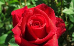 Red rose with dew drops wallpaperFlower wallpapers#32555 380
