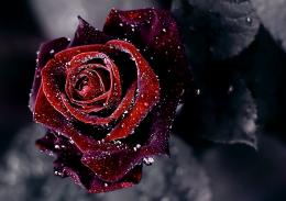 flower wallpaper, rose, drops, dew | HD Desktop Wallpapers 165