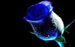 WET ROSE, blue, dew, drop, flower, rose, water 14063 217