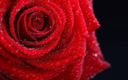 Dew drops on red rose HD Wallpaper 1920x1080 Dew drops on red rose HD 656