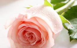 2560x1600Beautiful Rose Flowers Pictures Wallpapers2 1304