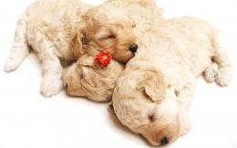 Wallpaper Of Animals: Three Doggies Sleeping Together | Free Wallpaper 761