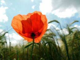Download Solo coquelicot wallpaper in Flowersplants wallpapers with 1347