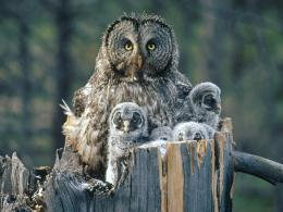 great gray owl wallpapers great gray owl great grey owl and they 1838