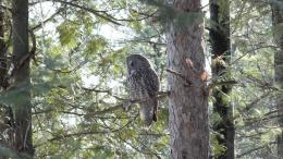 Pics PhotosSpotted Owl Owl Bird Profile Gray Background Reflections 713