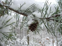 Pin Pine Branch In Snow 1920x1200 Wallpapers Download Desktop on 1241