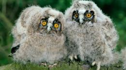 Download Two Little Owls wallpaper in Animals wallpapers with all 1569
