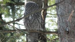 Pics PhotosSpotted Owl Owl Bird Profile Gray Background Reflections 488