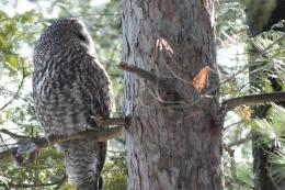 Pics PhotosSpotted Owl Owl Bird Profile Gray Background Reflections 885