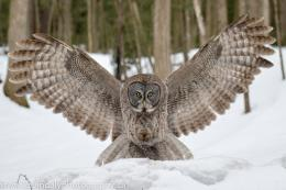 Related Pictures great grey owl wallpaper 1486