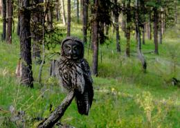 great grey owl on a branch in the forest of northeastern Oregon 1221