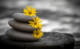 Download Three yellow flowers on three stones wallpaper in Flowers 1518
