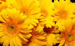 Yellow Flowers Background Wallpapers5183HD Desktop Wallpaper 1494