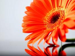 Tag: Orange Gerbera Daisy Flowers Wallpapers, Backgrounds, Paos 972