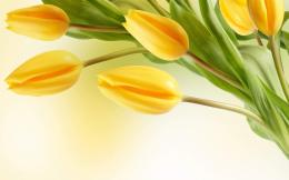 yellow tulip flower wallpaper 3 2000