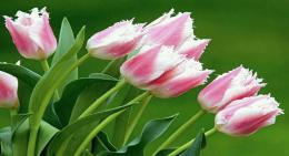 Spring Tulips | Wallpapers | Pinterest 896
