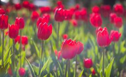 Download Wallpaper tulips, flowers, flowerbed, sunny, spring, close up 170