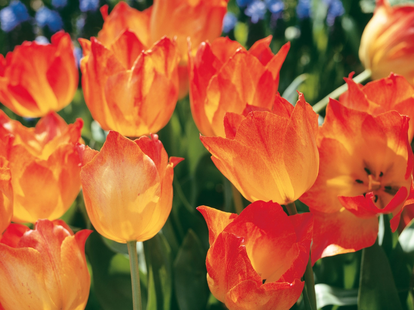 Download Wallpaper tulips, flowers, flowerbed, spring, close up HD 1186
