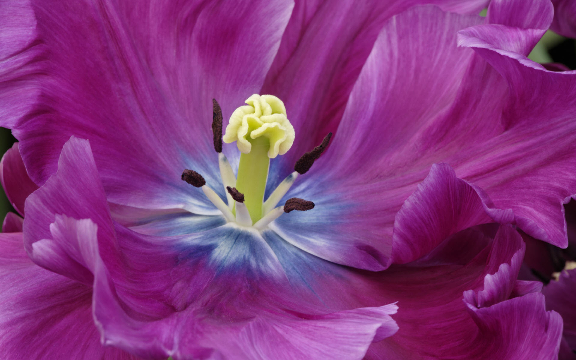 Close Up of a Purple Tulip Wallpapers | HD Wallpapers 1641
