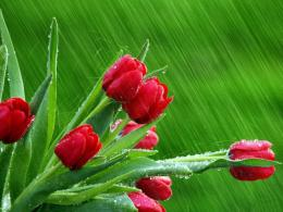 Rain flowers springseasontulips red flowers wallpaper | 1600x1200 1166