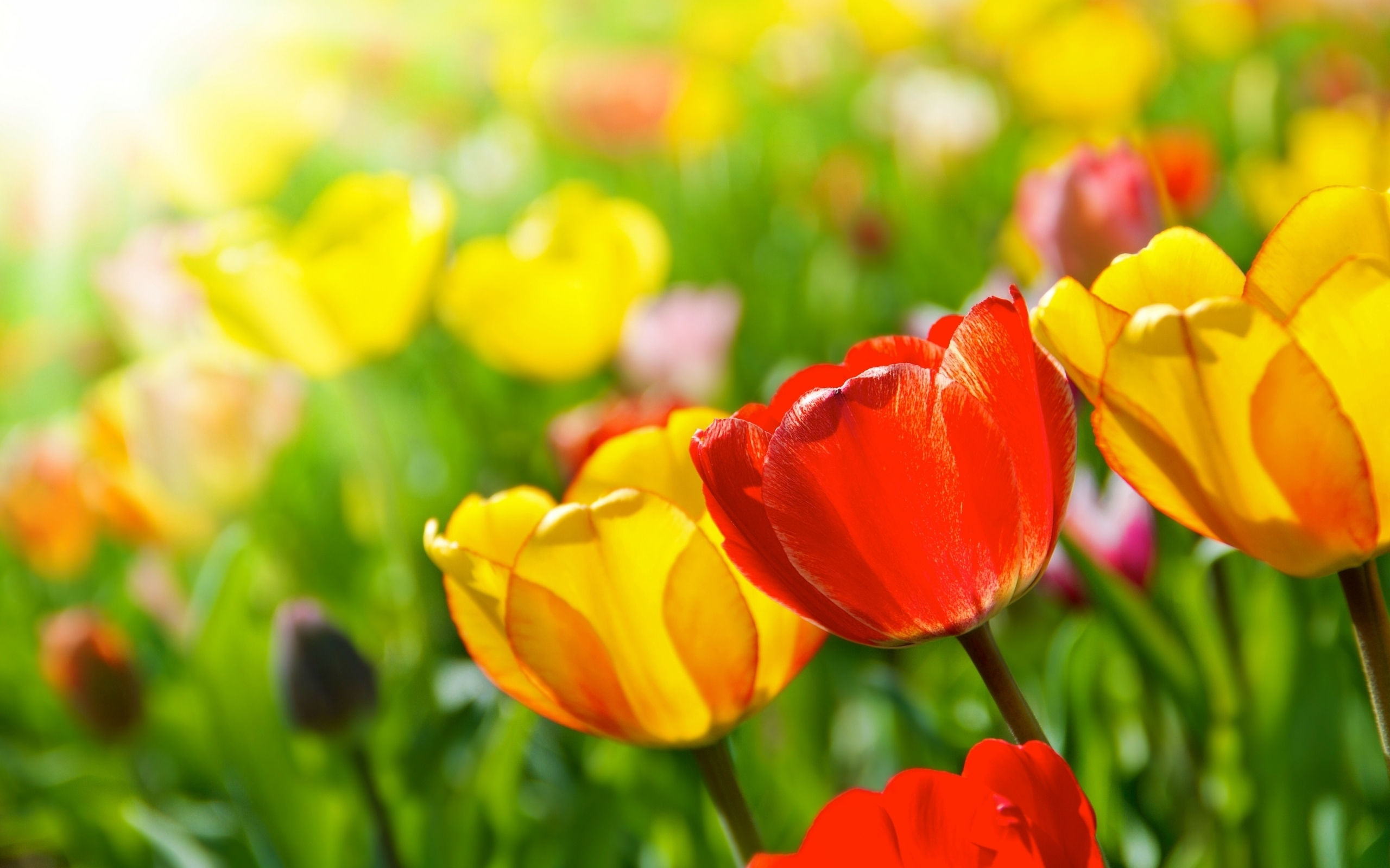 Download Wallpaper tulips, flowers, spring, sun, rays, close up HD 1761