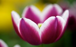Pictures Tulips Flowers Buds Pink Purple Wallpapers Pictures 1206