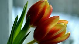 Two Tulips Spring close up wallpaper in Flowersplants wallpapers 692
