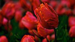 Tulips Wallpaper, tulip, flowers, buds, bud, petals, dew, water 849