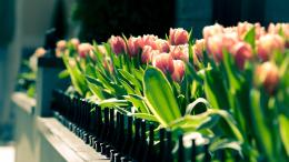 Spring tulips flower close up blurred photography Wallpaper, 1920x1080 316