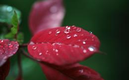 dew drops on red leafBackground Wallpapers for your Desktop and 1619