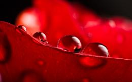 Waterdrops on red leaf wallpaper 798