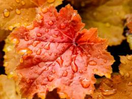wallpaper download red leaves close up water drops wallpaper 1600x1200 1415