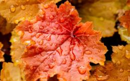 wallpaper download red leaves close up water drops wallpaper 1680x1050 1322
