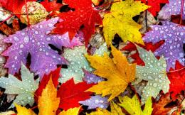 Leaves, autumn, water drops, yellow red purple Wallpaper | 1280x800 796