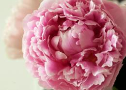 peony flower download wallpaper 1941