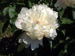Flower Photos: White Peony Flower 1026
