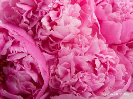 Peonies Background Peonies fullscreen wallpaper 240