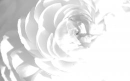 White peony wallpaperFlower wallpapers#23130 1389
