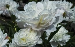 peonies white freewallpapers wallpapers 1920x1200 728