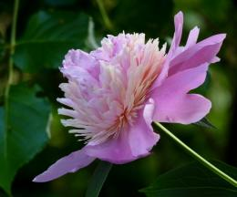 Peony Flower HD Wallpaper | Flowers Wallpapers 1522