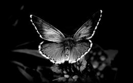 Black and white butterflyHD wonderful wallpaper 823