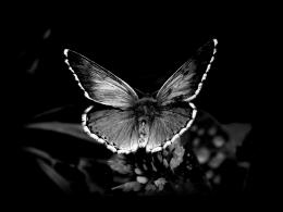 Black and white butterflyHD wonderful wallpaper 818