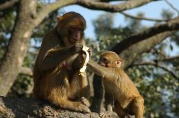 previous picture next picture baby monkey grabbing banana monkey 1733