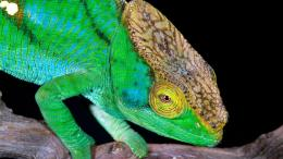 Chameleon wallpaper789535 1603
